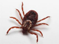 Tick that can give you Rocky Mountain Spotted Fever